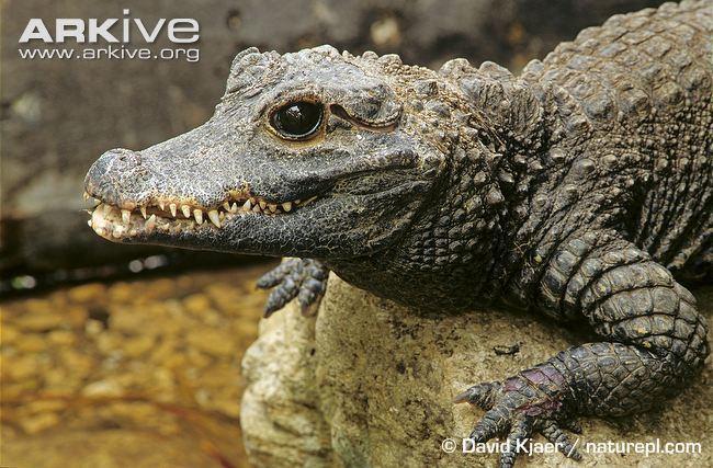 Dwarf crocodile Dwarf crocodile photo Osteolaemus tetraspis G8993 ARKive