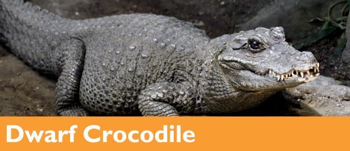 Dwarf crocodile European Legless Lizard Woodland Park Zoo Seattle WA