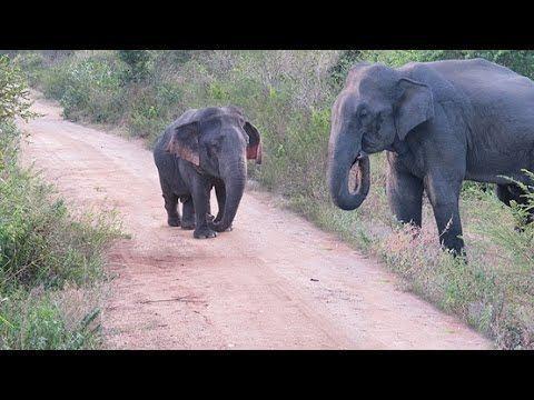 Dwarf elephant DWARF ELEPHANT SEEN FOR FIRST TIME YouTube