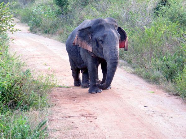 Dwarf elephant thewildlifewburorgwpcontentuploads201412dw