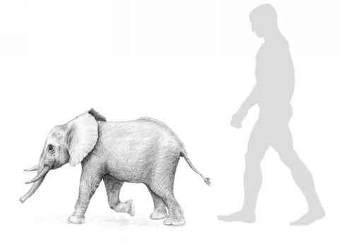 Dwarf elephant Sicilian Dwarf Elephant Disappeared Species Fossil Hunters