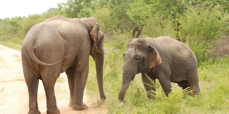 Dwarf elephant BBC Earth Dwarf elephant beats up big rival