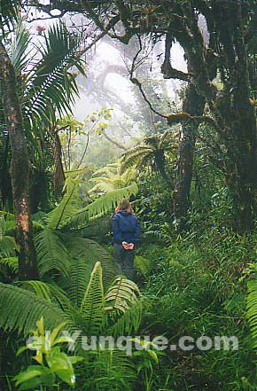 Dwarf forest photos of the El Yunque Rainforest National Park in Puerto Rico US