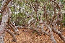 Dwarf forest httpsuploadwikimediaorgwikipediacommonsthu