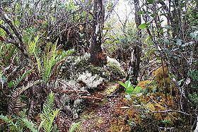 Dwarf forest Dwarf forest Wikipedia