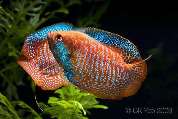Dwarf gourami wwwseriouslyfishcomwpcontentuploads201203C