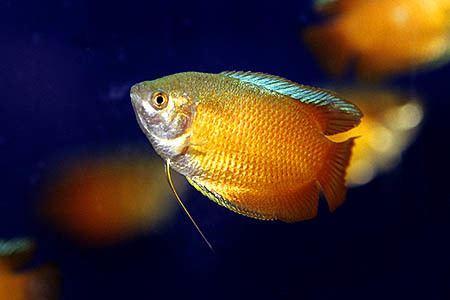 Dwarf gourami Trichogaster lalius Dwarf Gourami Seriously Fish