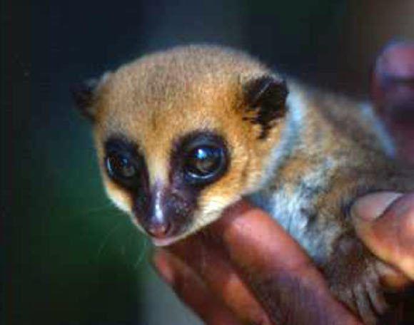 Dwarf lemur Lavasoa Dwarf Lemur New Species Found on Madagascar Biology Sci