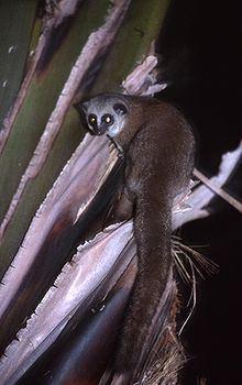 Dwarf lemur httpsuploadwikimediaorgwikipediacommonsthu