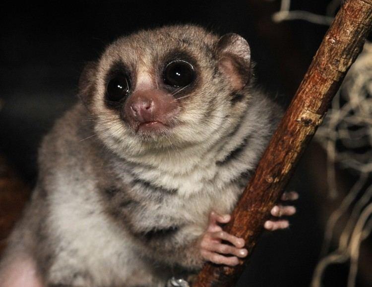 Dwarf lemur Fattailed Dwarf Lemur Duke Lemur Center