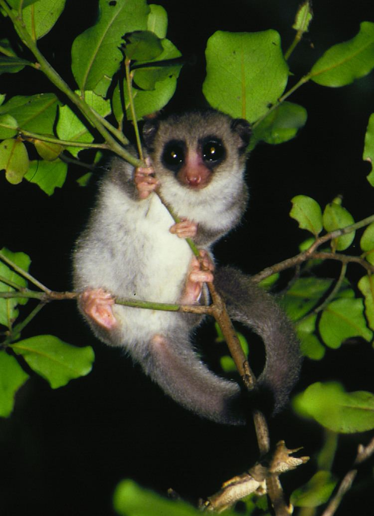 Dwarf lemur The Mysterious Brain of the FatTailed Dwarf Lemur the World39s Only