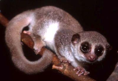 Dwarf lemur Can Humans Hibernate Ask the Dwarf Lemur Scientific American Blog