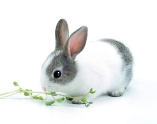 Dwarf rabbit Best Dwarf Rabbit care Dwarf Rabbit care