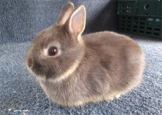 Dwarf rabbit Other dwarf rabbit breeds Lionhead Rabbit