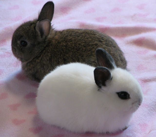 Dwarf rabbit 1000 ideas about Netherland Dwarf on Pinterest Bunny Holland lop