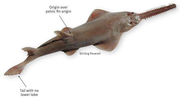Dwarf sawfish Dwarf sawfish
