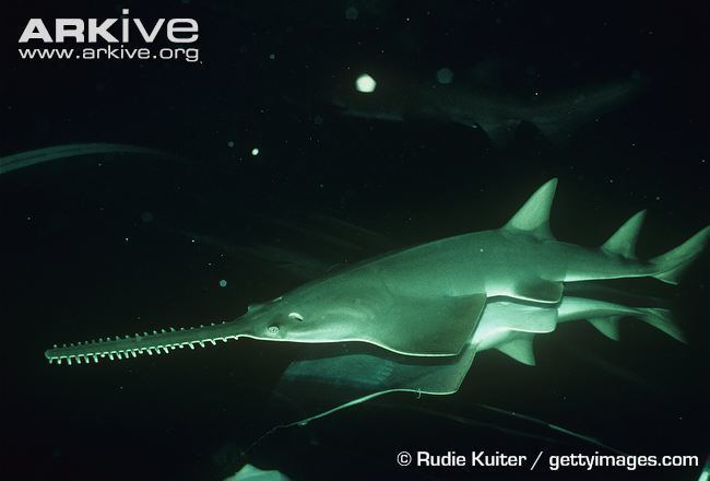 Dwarf sawfish Dwarf sawfish videos photos and facts Pristis clavata ARKive