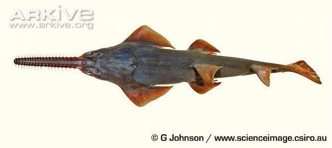 Dwarf sawfish Dwarf sawfish photo Pristis clavata G66128 ARKive