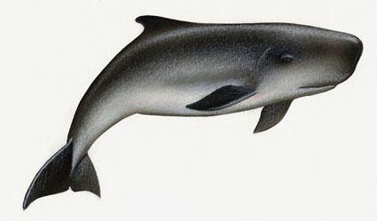 Dwarf sperm whale Dwarf and Pygmy Sperm Whale SWFSC