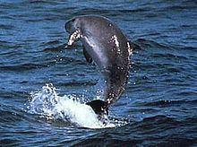 Dwarf sperm whale httpsuploadwikimediaorgwikipediacommonsthu