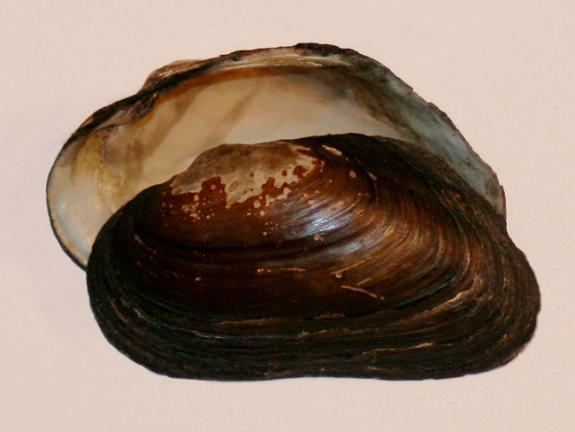 Dwarf wedgemussel Wildlife Field Guide for New Jersey39s Endangered and Threatened