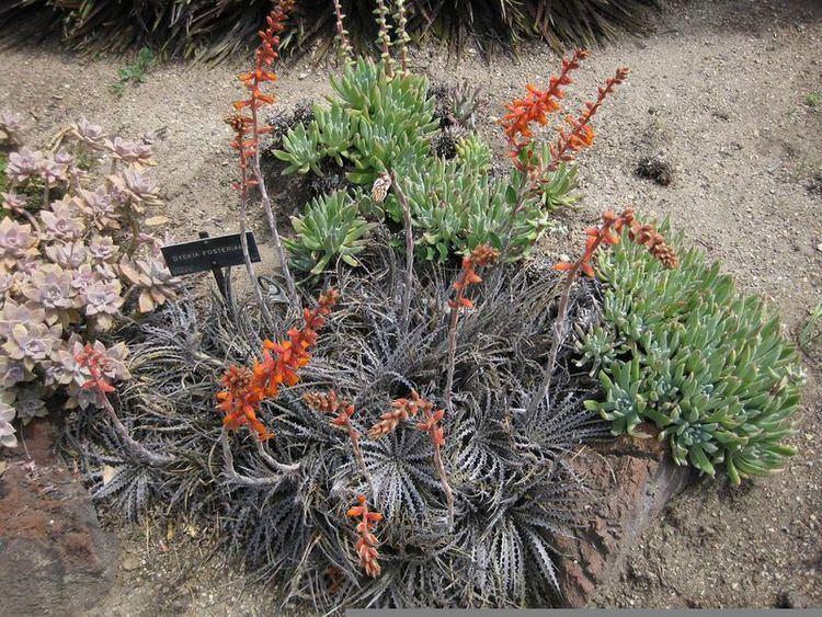 Dyckia fosteriana Plants amp Flowers Dyckia fosteriana