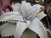 Dyckia marnier-lapostollei httpsuploadwikimediaorgwikipediacommonsthu