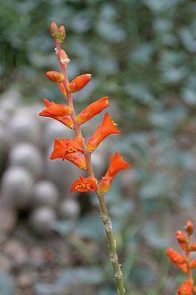 Dyckia rariflora httpsuploadwikimediaorgwikipediacommonsthu