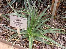 Dyckia tobatiensis httpsuploadwikimediaorgwikipediacommonsthu