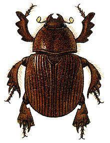 Dynamopodinae httpsuploadwikimediaorgwikipediacommonsthu