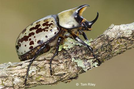 Dynastes tityus Eastern Hercules Beetle Dynastes tityus Linnaeus 1763