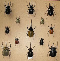 Dynastinae httpsuploadwikimediaorgwikipediacommonsthu