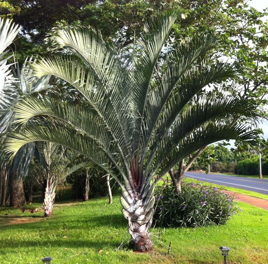 Dypsis decaryi UFEI SelecTree A Tree Selection Guide