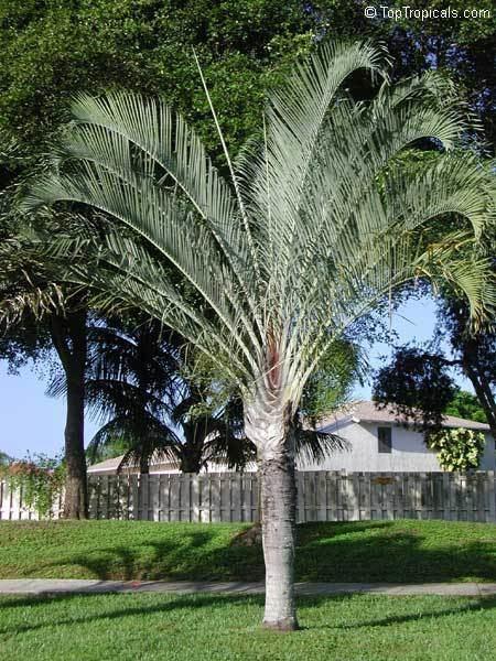 Dypsis decaryi Dypsis decaryi Neodypsis decaryi Triangle Palm TopTropicalscom