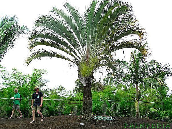 Dypsis decaryi Dypsis decaryi Palmpedia Palm Grower39s Guide