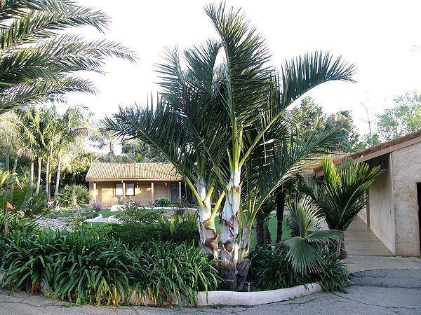 Dypsis decipiens Dypsis decipiens Palms For California
