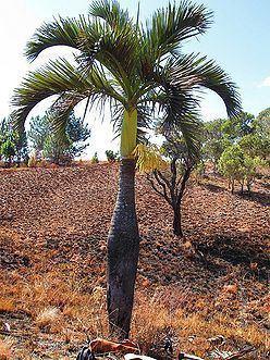 Dypsis decipiens Dypsis decipiens Palmpedia Palm Grower39s Guide