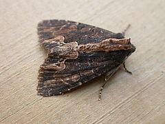 Dypterygia scabriuscula httpsuploadwikimediaorgwikipediacommonsthu
