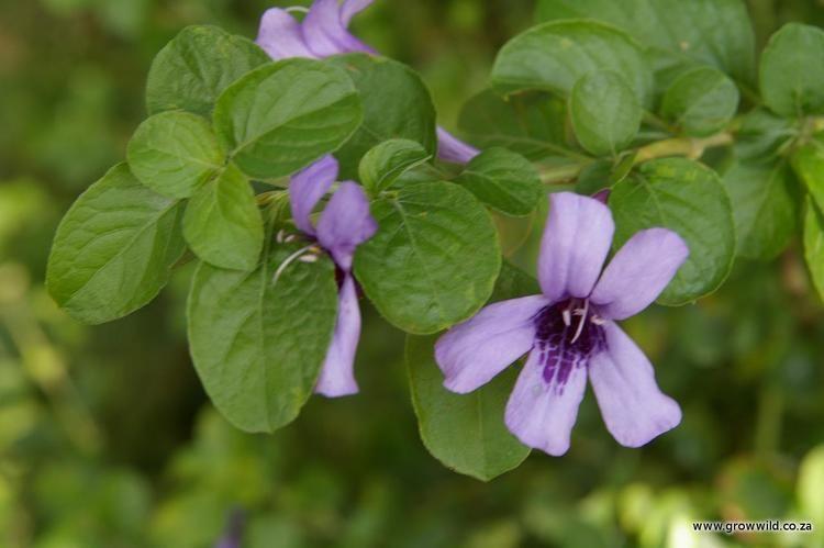 Dyschoriste Dyschoriste thunbergiiflora Grow Wild