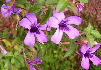 Dyschoriste Kartuz Greenhouses Dyschoriste thunbergiiflora