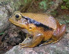 Dyscophus guineti httpsuploadwikimediaorgwikipediacommonsthu