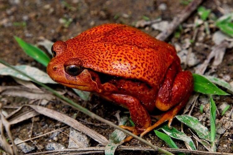 Dyscophus guineti Tomato Frog Dyscophus guineti Toliary Madagascarquot by john Lenagan