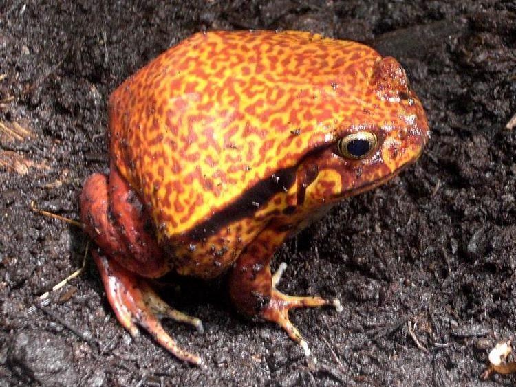 Dyscophus guineti Image Dyscophus guineti False Tomato Frog BioLibcz