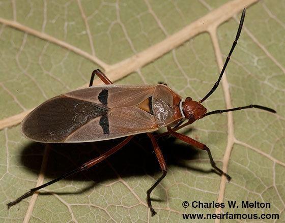 Dysdercus Bug Dysdercus bimaculatus BugGuideNet