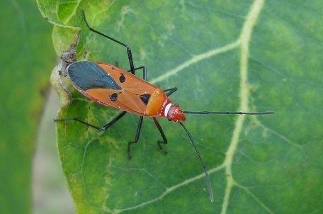 Dysdercus Dysdercus cingulatus