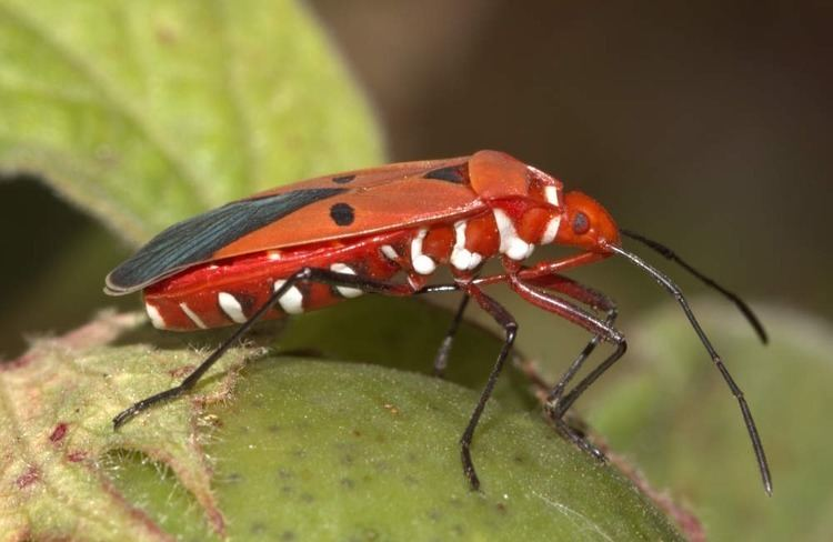 Dysdercus Insect Pests