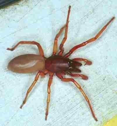 Dysderidae Dysderidae Cell spiders