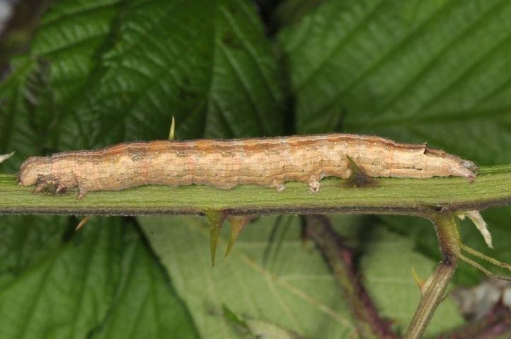 Dysgonia algira European Lepidoptera and their ecology Dysgonia algira