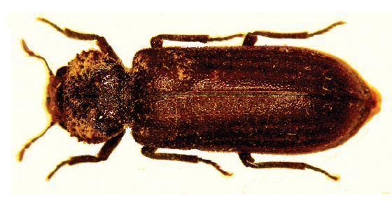 Dysidinae