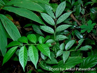 Dysoxylum Dysoxylum binectariferum Hiern Species India Biodiversity Portal